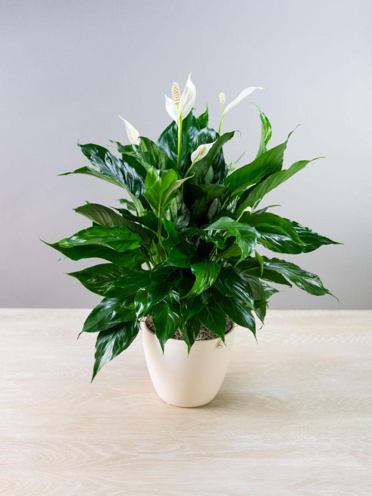 цветы на кухне на стене цветы в интерьере кухни цветы для кухни в тени съедобные растения для кухни озеленение кухни папоротник на кухне комнатные растения для солнечной стороны фото