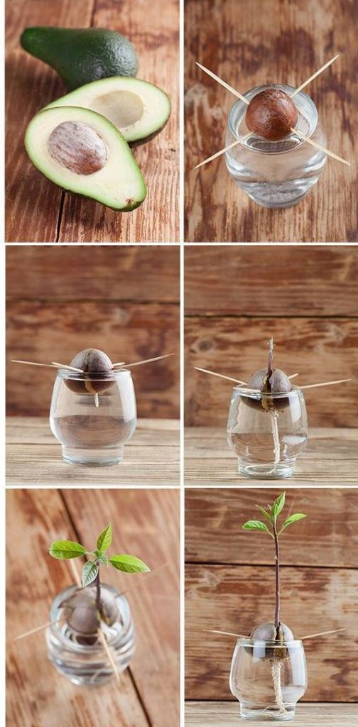 авокадо из косточки в домашних условиях
