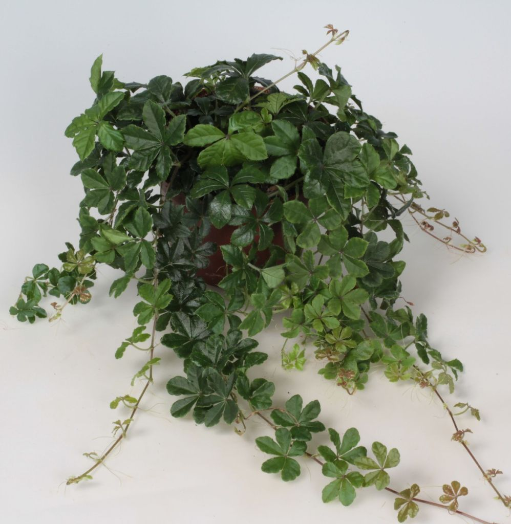 цветы в интерьере кухни  цветы для кухни в тени  озеленение кухни  искусственные цветы в интерьере кухни  съедобные растения для кухни  цветущие растения для кухни  комнатные цветы  ароидные низшие классификации
