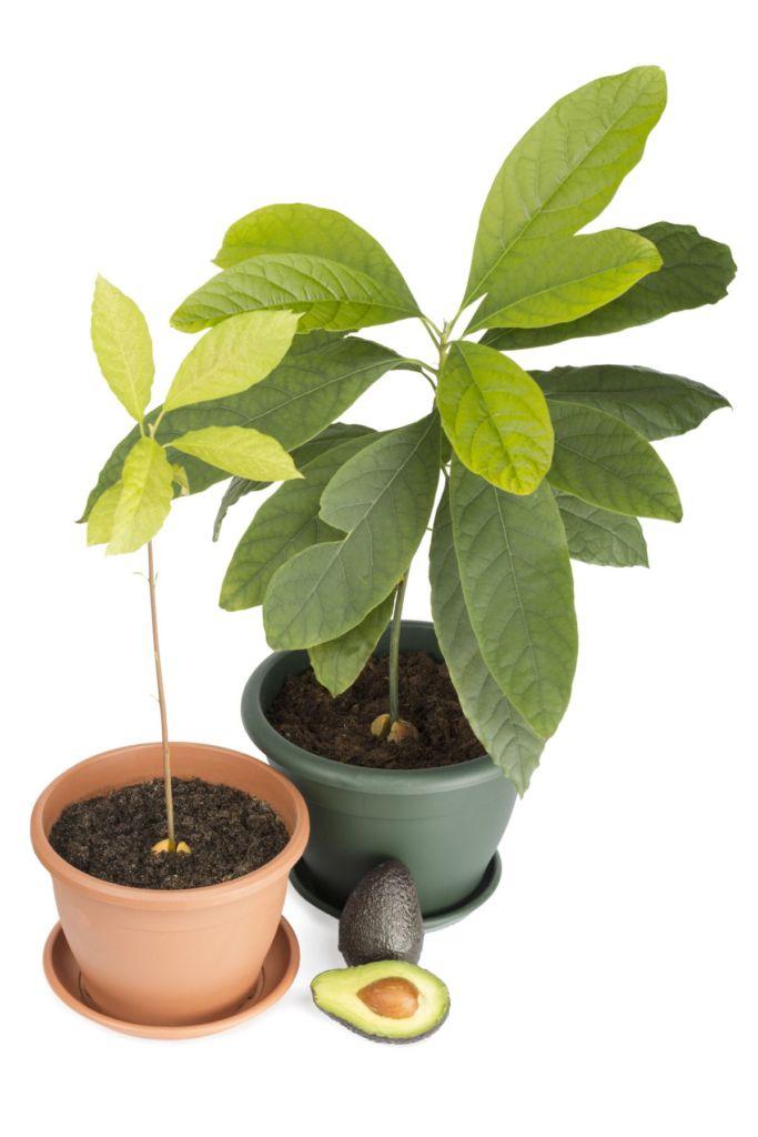 как посадить авокадо дома