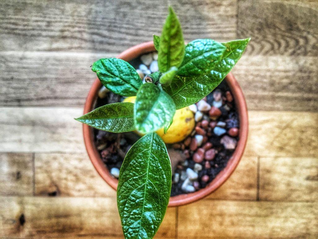 как посадить проросший авокадо