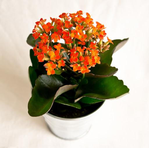 цветы на кухне дизайн цветы в интерьере кухни цветы для кухни в тени озеленение кухни папоротник на кухне вьющиеся цветы для кухни